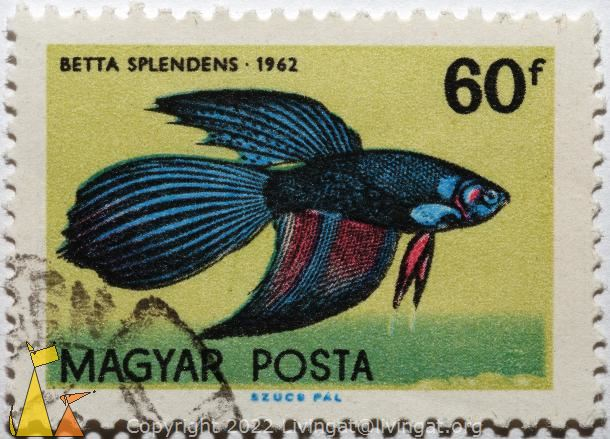 Black and Blue Fighting Fish, Magyar, Hungary, stamp, fish, Posta, 60 f, 1962, Szucs Pal, Betta splendens