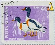 Common Shelduck, Romana, Romania, stamp, bird, 1968, Posta, H Meschendörfer, 40 Bani, Califar, Tadorna tadorna
