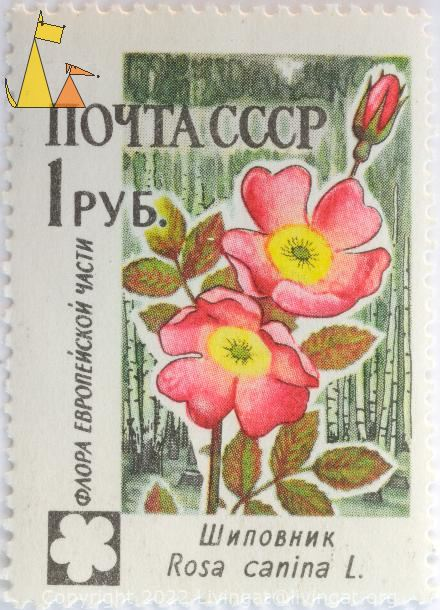 Dog rose, CCCP, Russia, stamp, plant, flower, Rosa canina, 1 pyb, noyta