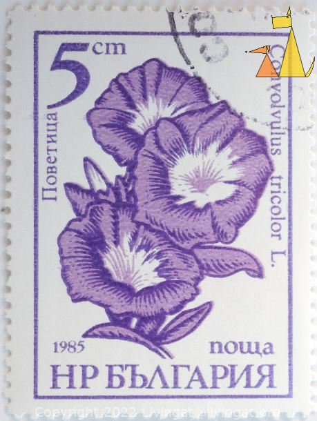 Dwarf Morning Glory, Bulgaria, stamp, flower, plant, Convolvulus tricolor, 5 cm, nowa, 1985