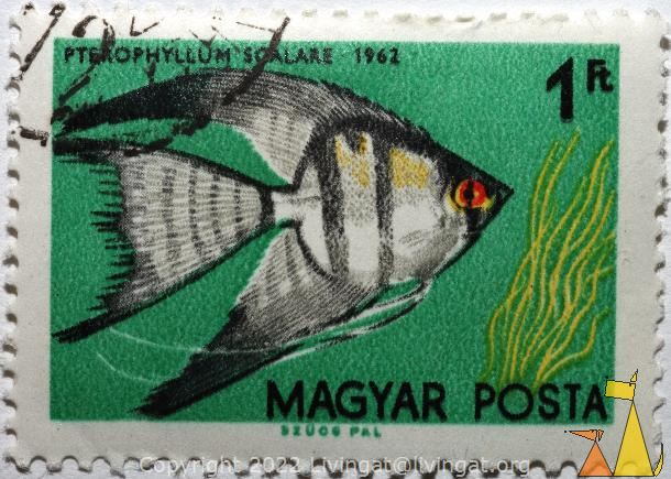 Freshwater angel, Magyar, Hungary, stamp, fish, Szucs Pal, Posta, 1 Ft, 1962, Peterophyllum scalare, Pterophyllum scalare