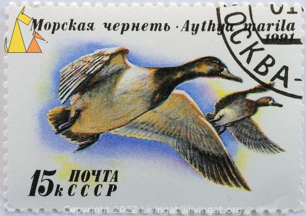 Greater Scaup, CCCP, Russia, stamp, bird, duck, 1991, noyta, 15 k, flying, Aythya marila