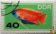 Honey gourami, DDR, Germany, stamp, fish, 40, Colisa chuna, Trichogaster chuna