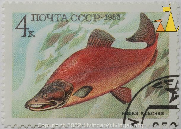 Male Sockeye, CCCP, Soviet, Russia, stamp, fish, red, salmon, нерка, красная, Sockeye salmon, Oncorhynchus nerka, 4 k, 1983