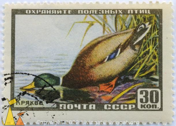 Mallard Having a Drink, CCCP, Russia, stamp, bird, duck, Anas platyrhynchos, 30 Kon