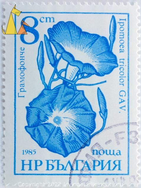 Morning Glory in Blue, Bulgaria, stamp, plant, flower, 8 Cm, Nowa, Ipomoea tricolor, 1985, Gav