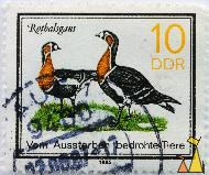 Red-breasted Geese, DDR, Germany, stamp, bird, 1985, Rothalsgans, Vom Aussterben bedrohte Tiere, 10, Branta ruficollis