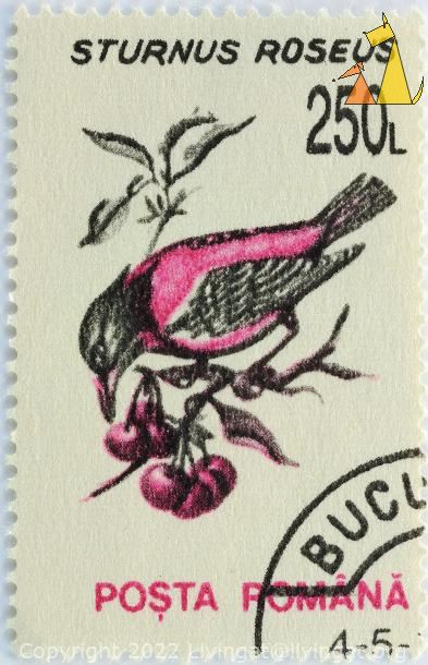 Rosy Starling, Romana, Romania, stamp, bird, Sturnus roseus, fruit, cherries, 250 L, Posta