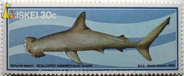 Scalloped hammerhead shark, Ciskei, stamp, shark, Sheila Nowers, B4.5,  1983, 30 c, Scalloped hammerhead shark, Sphyrna lewini