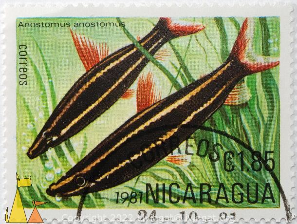 Striped headstander, Nicaragua, stamp, fish, Anostomus anostomus, correos, 1.85 C$, 1981
