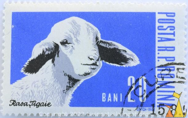 Tigai Lamb, RP Romania, Romania, stamp, mammal, cheep, farming, cattle, farm animal, Untch, 1962, Posta, Rasa Tigaie, Ovis aries