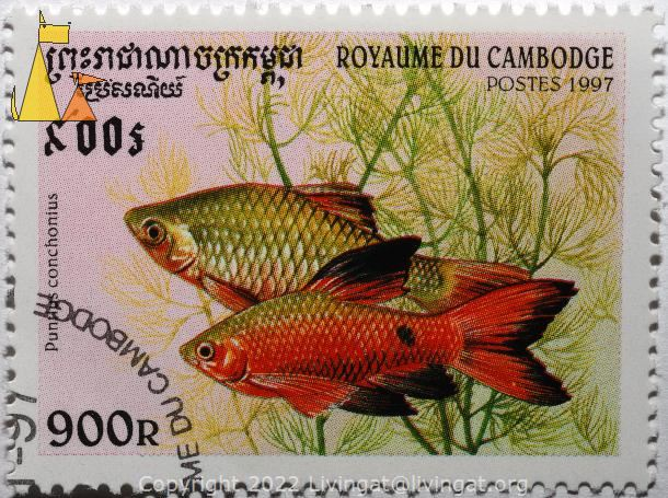 Two Rosy barb, Royaume du Cambodge, Cambodia, stamp, fish, Postes, 1997, 900 R, Puntius conchonius