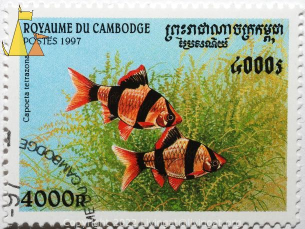 Two Tiger Barbs, Royaume du Cambodge, Cambodia, stamp, fish, Postes, 1997, 4000 R, Capoeta tetrazona, Puntius tetrazona