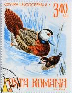 White-headed Duck, Rpmana, Romania, stamp, bird, Oxyura leucocephala, 3.40 Lei, Posta, 1977, F Ivanus